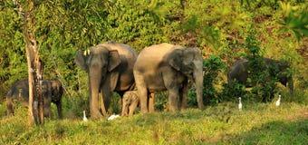 Familj av asiatiska elefanter av den Kui Buri nationalparken, Thailand Royaltyfri Foto
