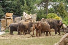 Familj av asiatiska elefanter, medan äta i zoo Sommar Arkivbilder