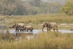 Familj av asiatiska elefanter som korsar floden, Bardia nationalpark, Nepal Royaltyfria Bilder