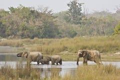 Familj av asiatiska elefanter som korsar floden, Bardia nationalpark, Nepal Royaltyfri Foto