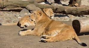 Familj av asiatiska lejon Arkivbilder
