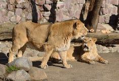 Familj av asiatiska lejon Royaltyfri Bild