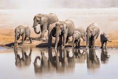 Familj av att dricka för afrikanska elefanter Royaltyfria Foton