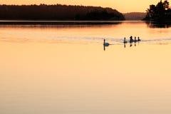Familj av att simma för svanar arkivfoton