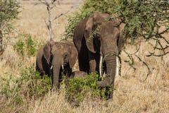 Familj av att stå för elefanter royaltyfria bilder