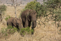 Familj av att stå för elefanter fotografering för bildbyråer
