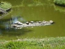 Familj av att vila för sköldpaddor Royaltyfri Bild