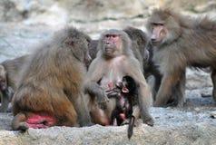 Familj av Baboons Royaltyfri Foto