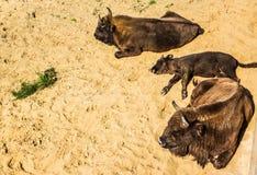 Familj av bisonen Arkivbild