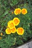 Familj av blommagulingar Royaltyfria Bilder