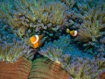 Familj av clownfish hemma i undervattens- anenome arkivbild