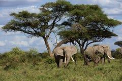 Familj av den afrikanska elefanten Arkivbilder