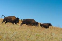 Familj av den amerikanska bisonen i South Dakota Fotografering för Bildbyråer
