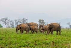 Familj av den asiatiska elefanten Arkivfoto