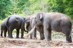 Familj av den asiatiska elefanten Royaltyfri Foto