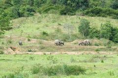 Familj av den asiatiska elefanten som går och ser gräs för mat i den skogKui Buri nationalparken thailand Royaltyfri Fotografi