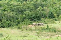 Familj av den asiatiska elefanten som går och ser gräs för mat i den skogKui Buri nationalparken thailand Arkivbilder