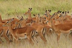 Familj av den kvinnliga impalahopsamlingen tillsammans i Serengetien Royaltyfri Fotografi