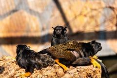 Familj av av den på bar gärning midas-tamarinen för barn apor för ny värld royaltyfria bilder