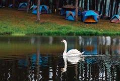 Familj av den vita svanen Cygnini och gr?a unga svanar som sv?var p? sj?n i djurliv arkivbilder