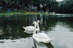 Familj av den vita svanen Cygnini och gr?a unga svanar som sv?var p? sj?n i djurliv arkivfoto
