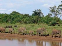 Familj av elefanter Arkivbild