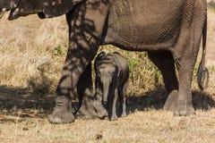 Familj av elefanter arkivfoton