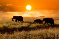 Familj av elefanter på solnedgången i nationalparken av Afrika arkivfoton
