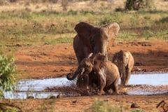 Familj av elefanter som spelar i den röda gyttjan royaltyfri foto