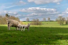Familj av får på gräsäng arkivbild