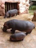Familj av flodhästar Arkivfoto