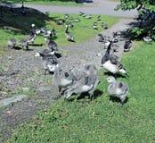 Familj av gäss med många av små gråa fågelungar Fotografering för Bildbyråer