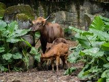 Familj av gaur Royaltyfri Bild