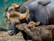Familj av gaur Arkivbild