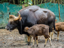 Familj av gaur Arkivfoton