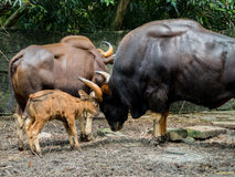 Familj av gaur Royaltyfria Bilder