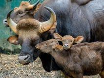 Familj av gaur Royaltyfri Foto