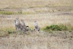 Familj av geparder som ut ser för rov i den afrikanska savannahen Royaltyfri Fotografi