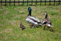 Familj av gräsandänder Arkivfoto