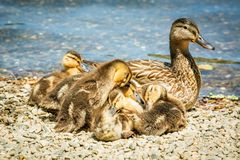 Familj av gulliga små ankungar tillsammans på sjön royaltyfria bilder