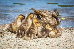Familj av gulliga små ankungar tillsammans på sjön arkivbild
