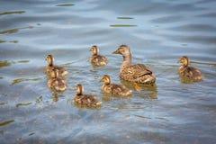 Familj av gulliga små ankungar tillsammans på sjön royaltyfri foto