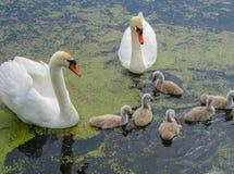 Familj av härliga vita svanar på vattnet i ett damm på naturen royaltyfri foto