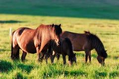 Familj av icelandic hästar Royaltyfri Fotografi