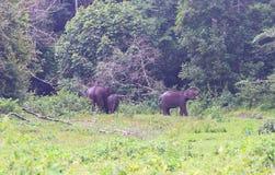 Familj av indiska elefanter som betar i den Periyar nationalparken royaltyfri foto