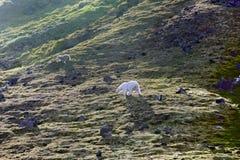 Familj av isbjörnar på den Northbrook ön Franz Josef Land arkivbilder