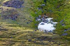 Familj av isbjörnar på den Northbrook ön Franz Josef Land royaltyfria foton