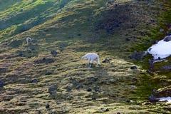 Familj av isbjörnar på den Northbrook ön Franz Josef Land royaltyfria bilder