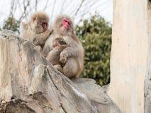 Familj av japanska apor Arkivfoto