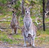 Familj av kängurur arkivbild